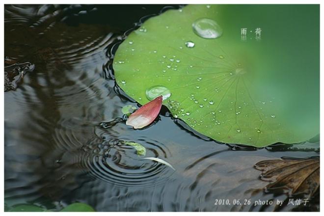 Lotus in the rain (12)